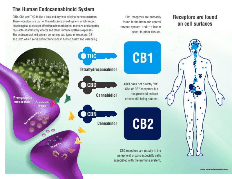 CB1 and CB2 Receptors - What are they? 1