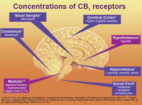 CBD - the Brain's New Friend 2